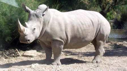 وأخيرا، أملٌ يلوحُ لإنقاد وحيد القرن الأبيض من الإنقراض