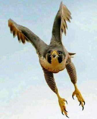 """طائر """"الحدأة"""" متهم رئيسي في حرائق أستراليا و نفوق 500 مليون حيوان"""