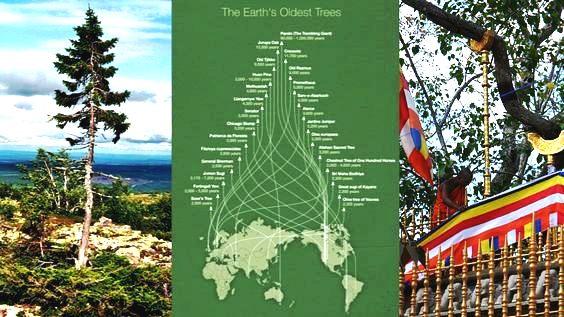 معلومة بيئية: أقدم شجرة في العالم بشمال السويد