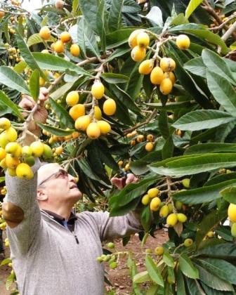 """موسم استثنائي بامتياز لفاكهة الزعرور المعروفة بـ """"لمزاح"""""""